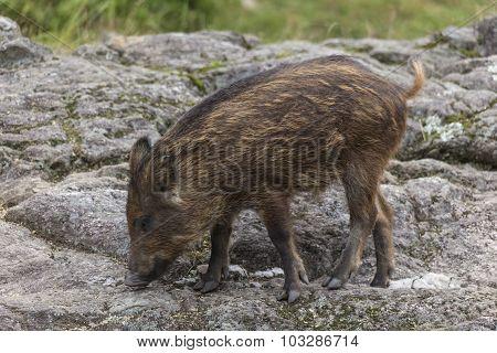 A lone baby boar feeding