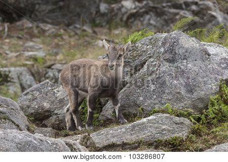 A lone baby Ibex on a rocky cliff