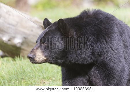 A lone large black bear profile