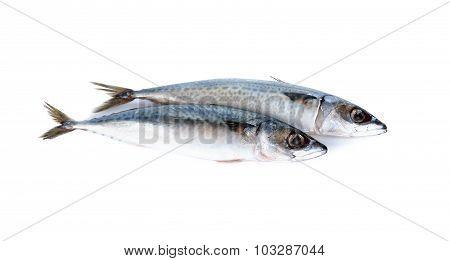 Whole Round Blue Mackerel On White Background
