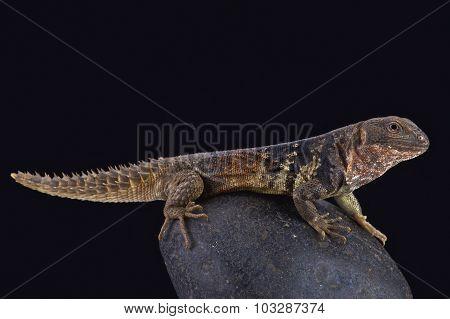 Yucatán spiny-tailed iguana