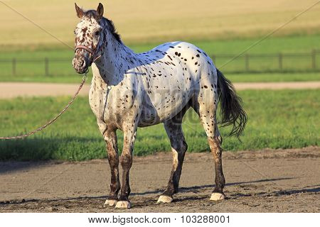 Altai native breed horse piebald or pied suit.