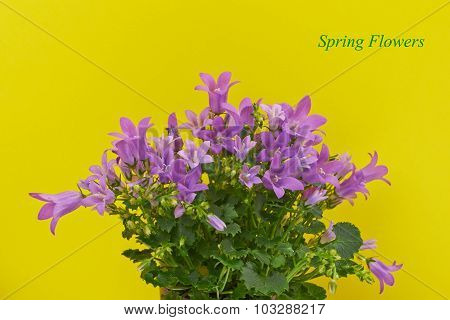 Bouquet of flowers in his hands blue bells on a yellow backgroun