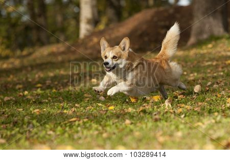 dog welsh corgi dog runs fast