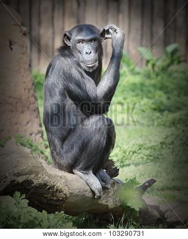 The Chimpanzee thinking. Retro style filtered picture.