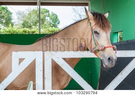 The Thoroughbred Horse Standing In The Barn Door Stable.