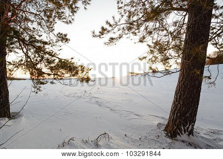 Pine Forest In The Winter