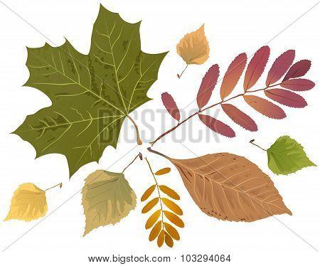 Set of autumn leaves. Rowan leaf, maple leaf, birch leaf