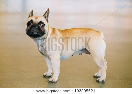 Dog French Bulldog indoor. Small breed of domestic dog.