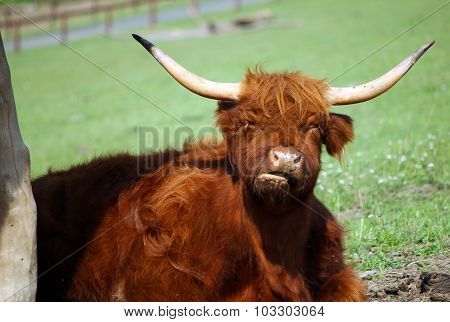 Brown Buffalo With Big Horns