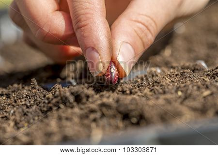 Closeup Of Female Hand Planting A Seed Of Red Bean In A Fertile Soi
