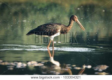 Black stork catching fish in the lake on migration