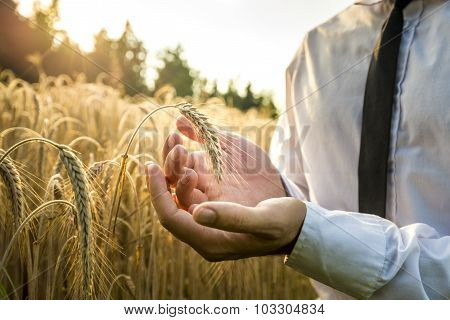 Business Man Cupping A Ripe Ear Of Wheat