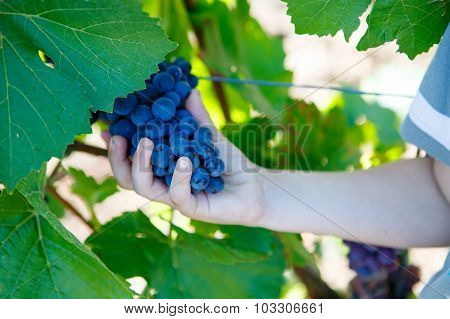 Hands Of Child With Blue Grapes Ready To Harvest