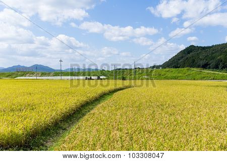 Green rice field with footpath