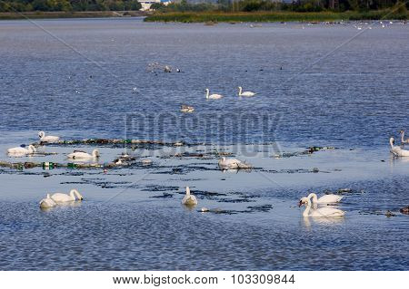 swans on a lake polluted
