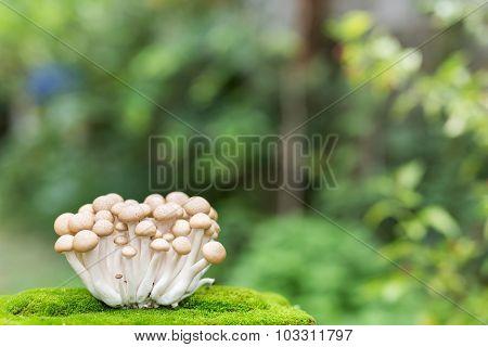 Japanese Mushroom With Blur Green Background