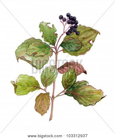 Watercolor branch of elderberry