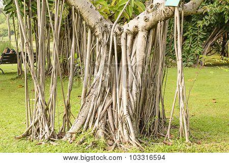 Tree & many tree roots
