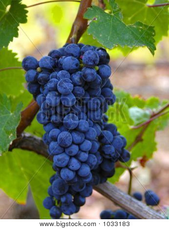 A Bunch Of Wine Grapes