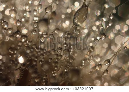 Fluffy dandelion in drops of dew