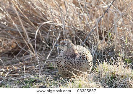 Round Pheasant