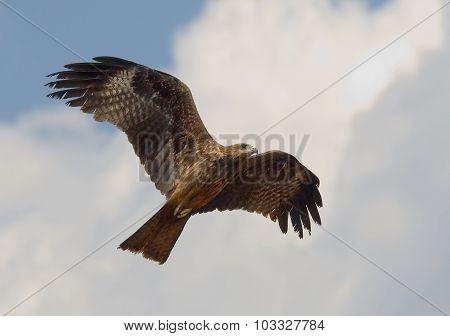 Flying Black Kite