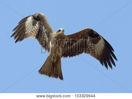 Flying Black Kite At Sky Background