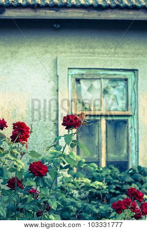 Rose Bushes With Broken Window