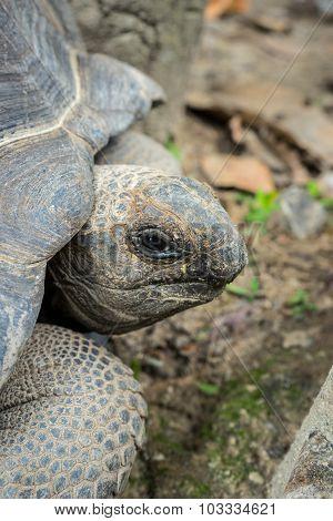 Aldabra Giant Tortoise , Aldabrachelys Gigantean