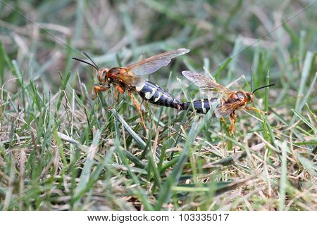 Cicada Killers Mating