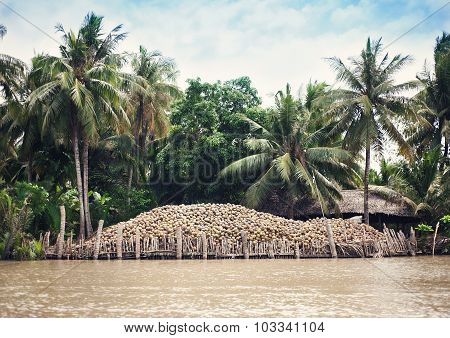 Harvesting of coconuts