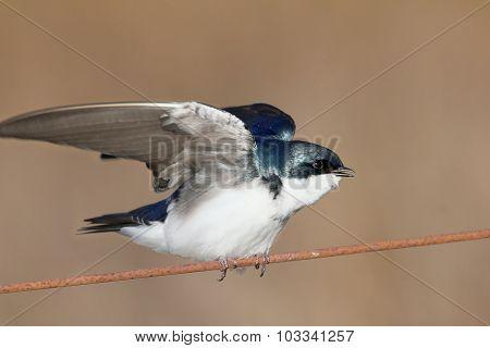 Disturbed Tree Swallow