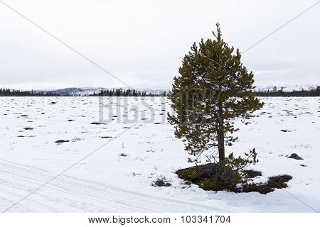 Little pine on snowy bogland.