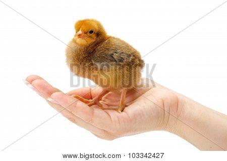 Newborn Brown Chicken Standing In Human Hand
