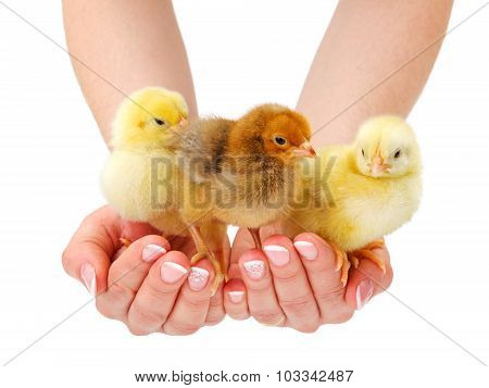 Three Newborn Chickens Standing In Human Hand