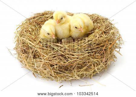 Three Little Yellow Chickens In Hay Nest