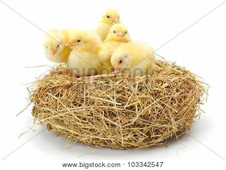 Lots Of Newborn Yellow Chickens In Hay Nest