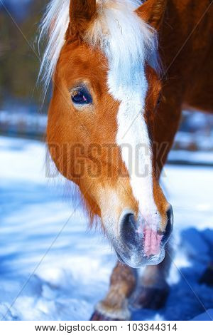Brown Horse Haflinger in snowy. Eye contact