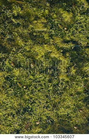 Seaweeds Vegetation In The Shallow