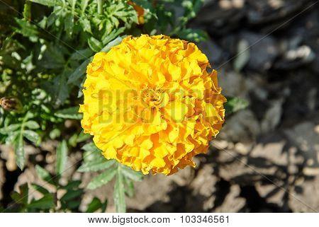 Orange Marigold Flowers In The Garden