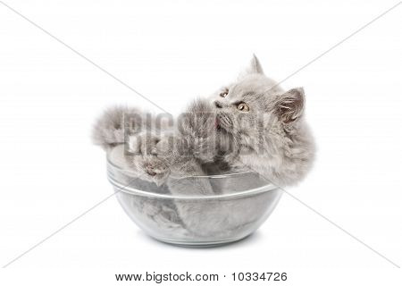 Cute British Kitten In Glass Bowl Isolated