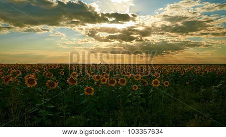 Field Of Sunflowers On A Sunset.