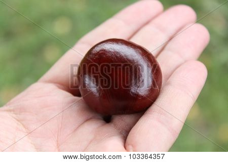 A man is holding chestnut
