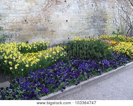 Flowerbed with yellow daffodils and dark blue eyes anytiime