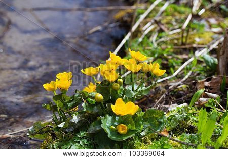 Yellow buttercup flowers Ranunculus. in the meadow. the stream.