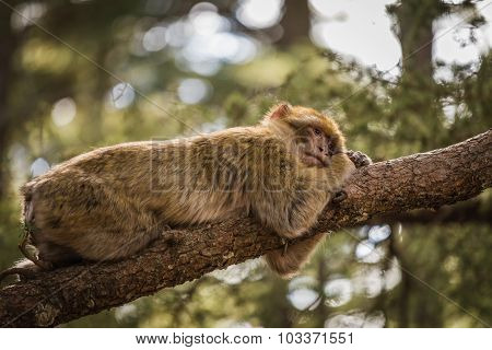 Macaques Relaxing On A Tree