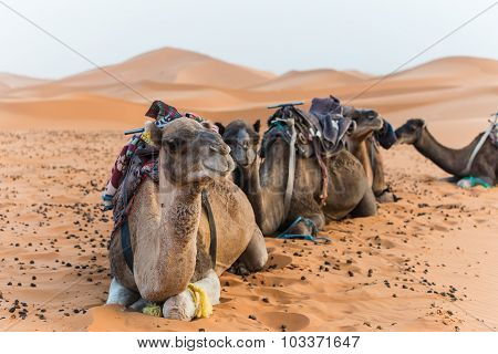 Selective Focus Shot Of Camels In The Desert
