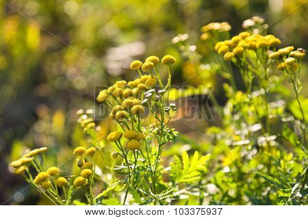 Yellow Flowers Of A Tansy