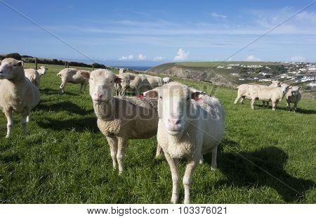 Sheep On A Coastal Hill